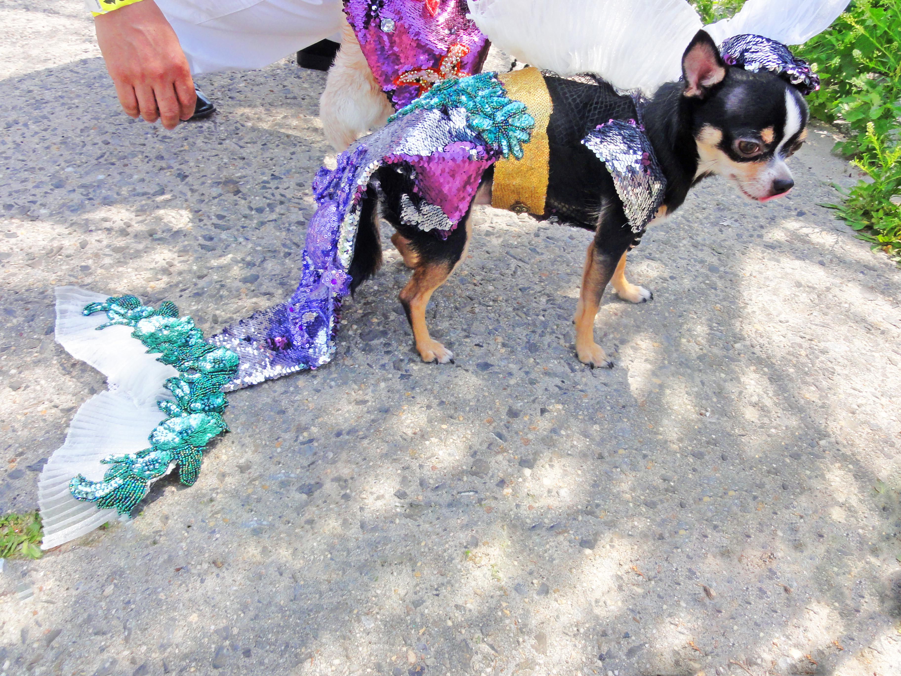 Bogie at 2013 Coney Island Mermaid Parade