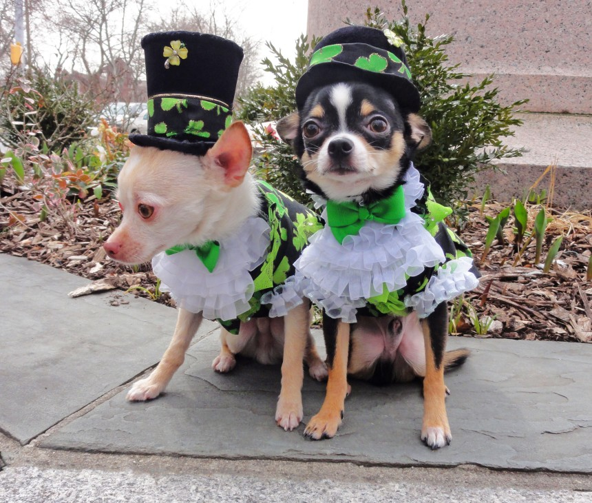 Bogie and Kimba as leprechauns in their St. Patrick's Day outfits by Anthony Rubio