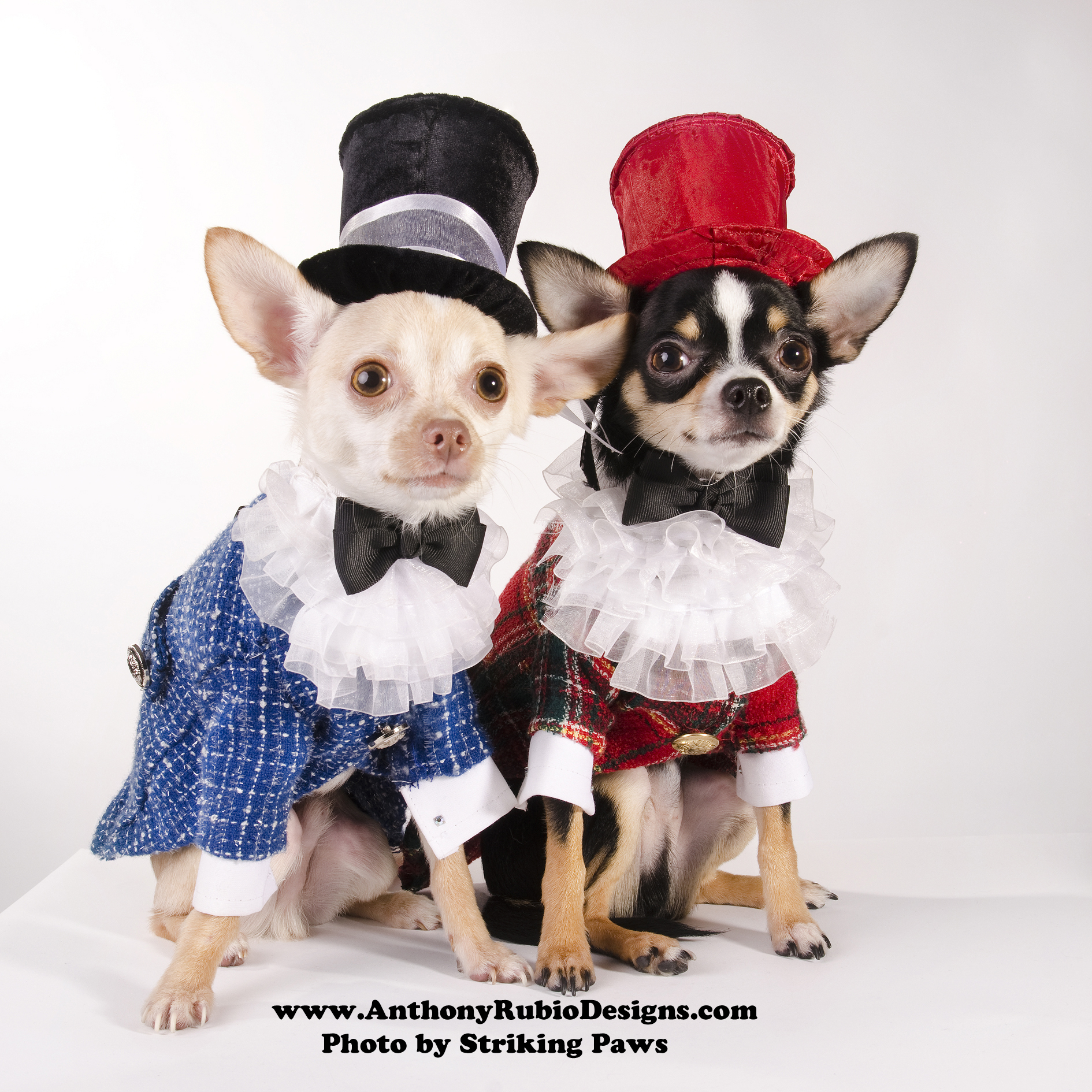 Bogie and Kimba wearing their Polo outfits by Anthony Rubio