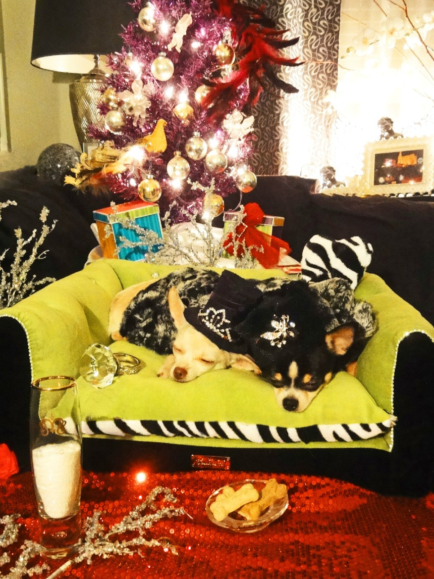 Anthony Rubio with Chihuahuas Bogie and Kimba waiting for Santa Claus on Christmas Eve 2013
