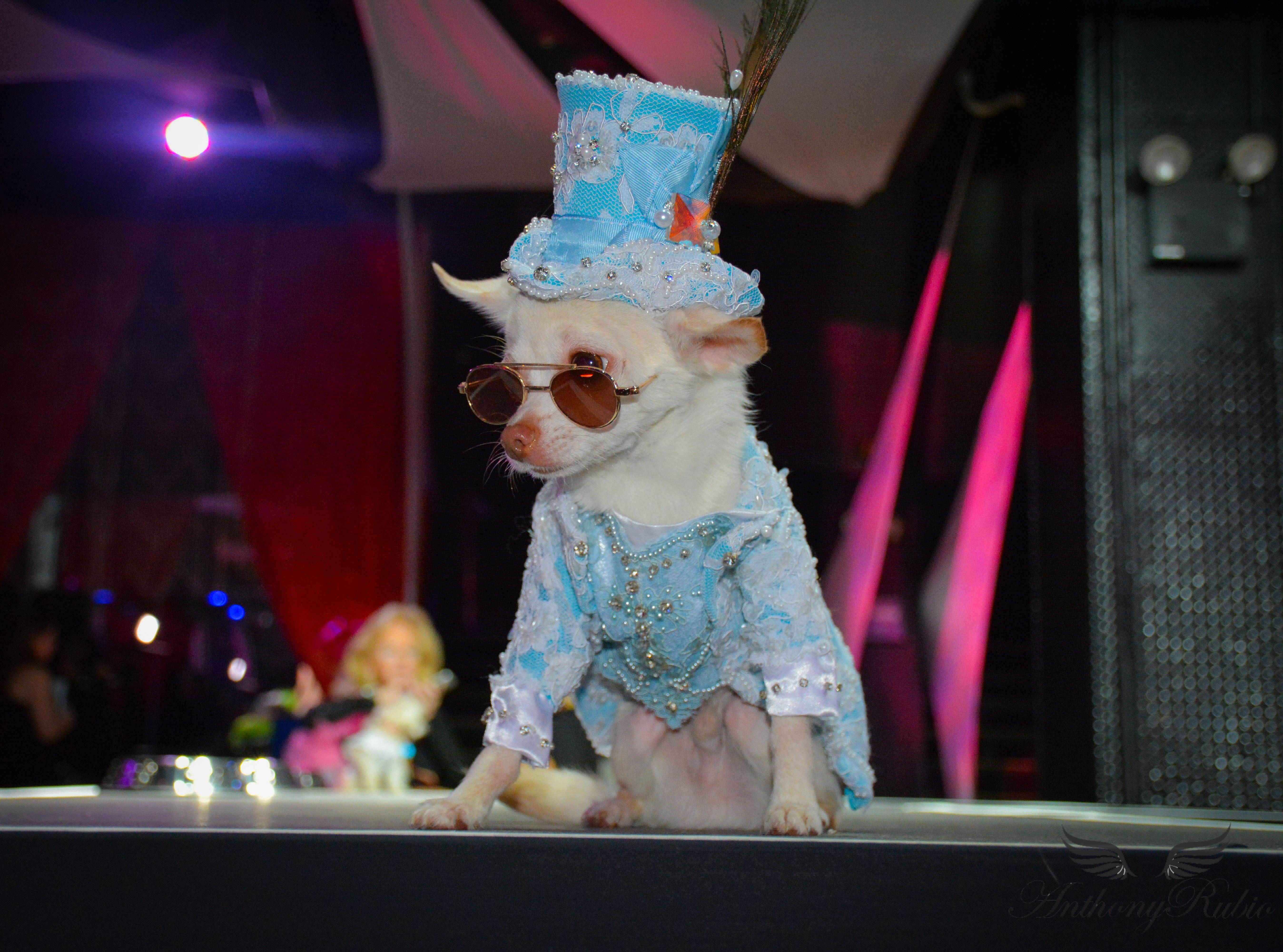 Chihuahua Kimba wearing Anthony Rubio Designs