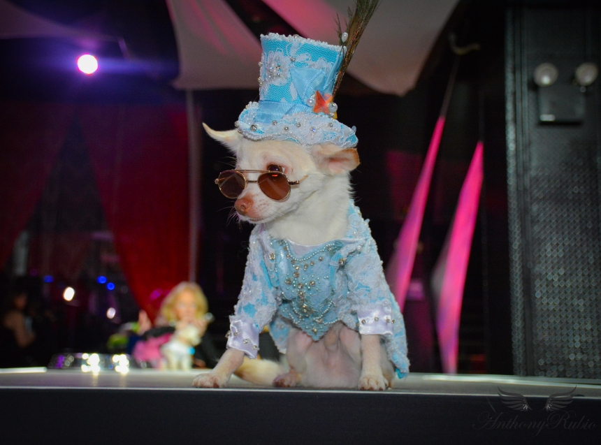 Chihuahua Kimba wearing Anthony Rubio Designs