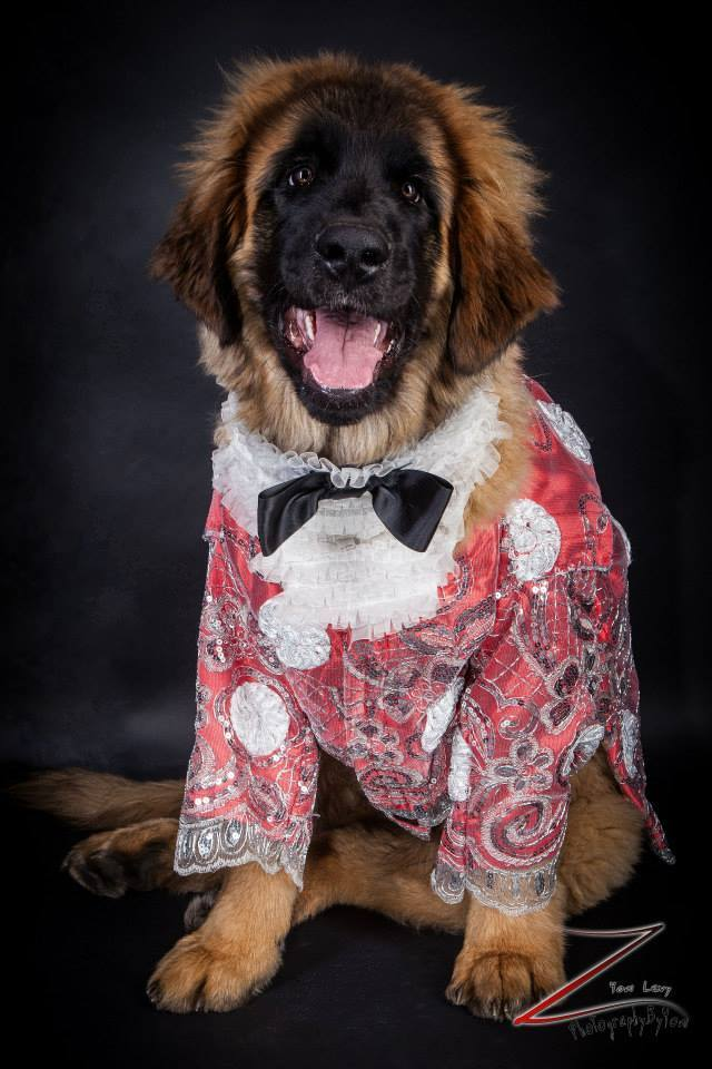 Magneto, a Leonberger wearing Anthony Rubio Designs (Photo by Yoni Levy)