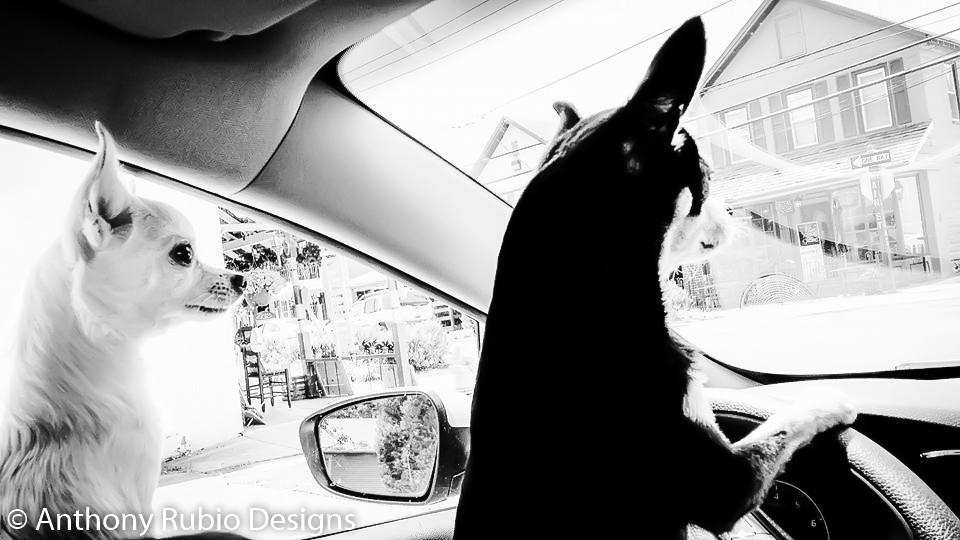 Anthony Rubio's Chihuahuas Bogie & Kimba Behind The Wheel