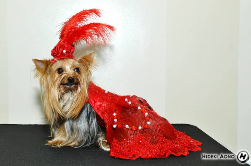 "Yorkie Portia wearing ""The Red Dress"" by Anthony Rubio Designs"