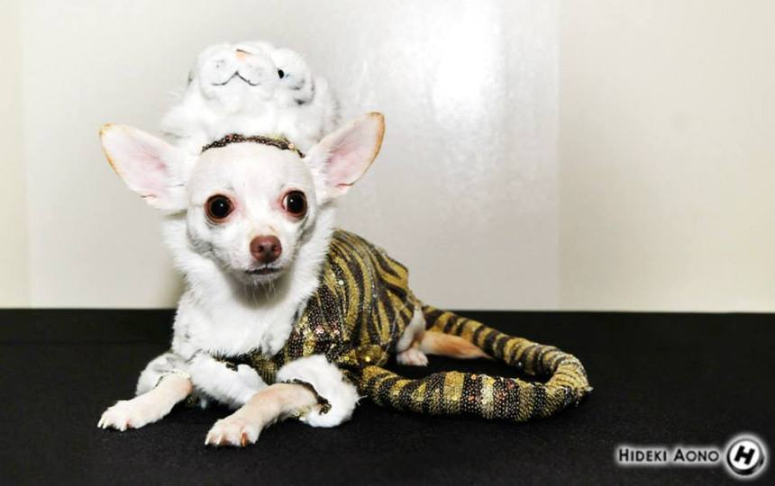Dog Halloween Tiger Costume by Anthony Rubio Designs