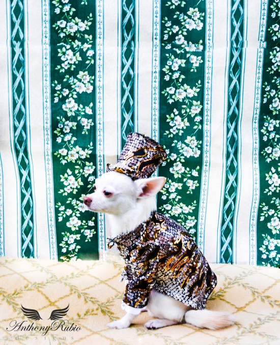 Chihuahua Kimba's Attempt To Break The Internet in his Anthony Rubio Designs