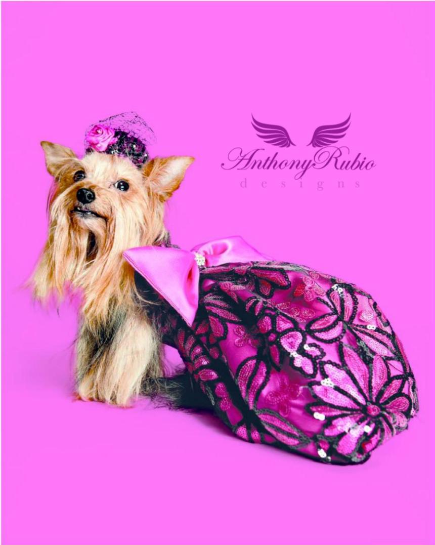 Dog Fasshion by Anthony Rubio. Yorkie Portia wearing Anthony Rubio Designs