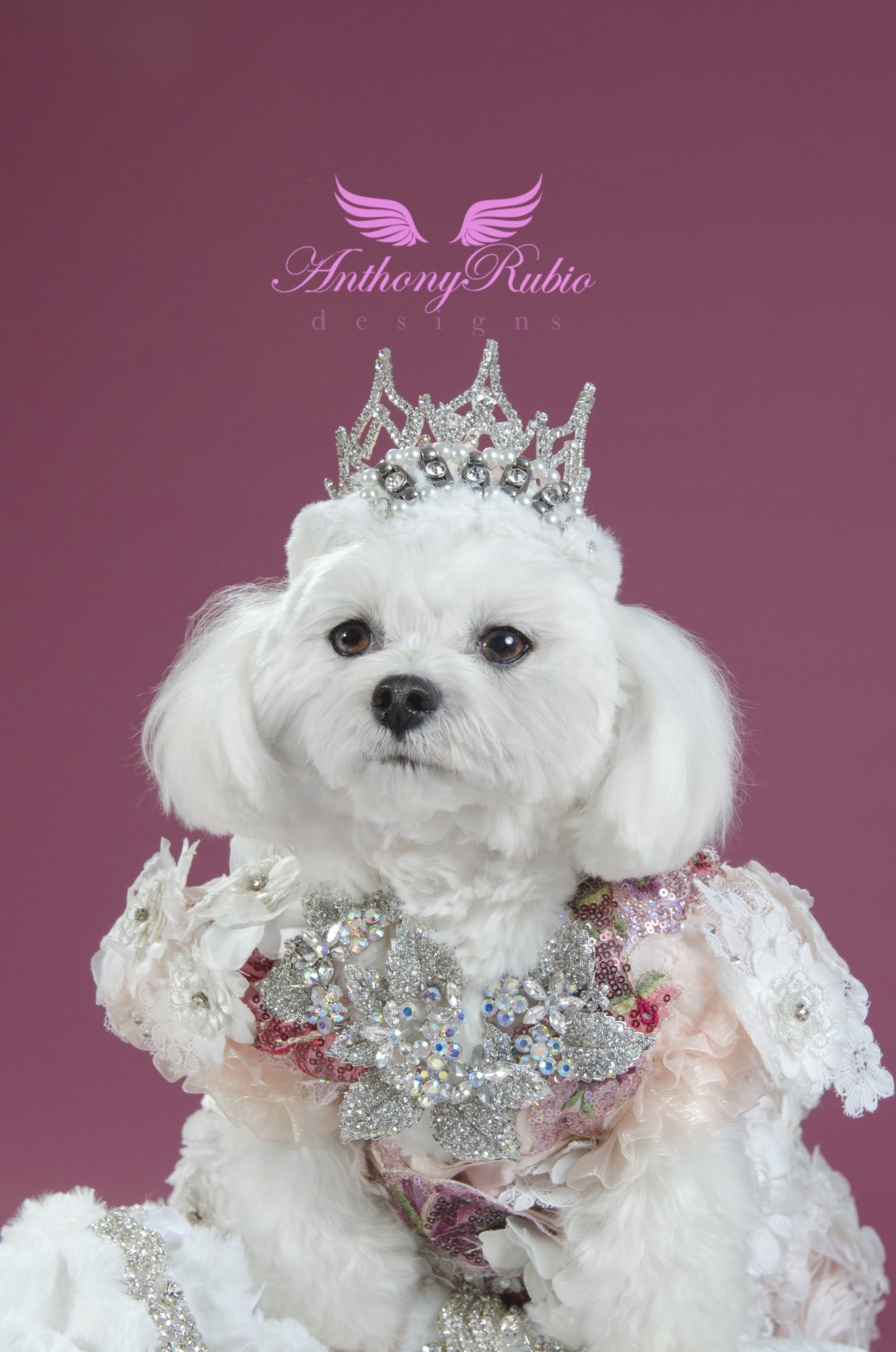Maltese Bella Mia's Crown Jewels by Anthony Rubio