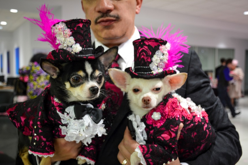 Chihuahuas Bogie and Kimba wearing Anthony Rubio Designs attend  Rose and  Kismet's Wedding