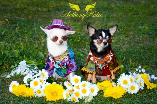 2015 New York Pet Fashion Show  featuring Chihuahuas Bogie & Kimba wearing Anthony Rubio Designs