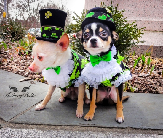 Happy St Patrick's Day! Chihuahuas Bogie and Kimba are wearing Anthony Rubio Designs.