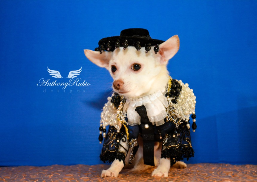 Chihuahua Kimba in Anthony Rubio Designs for Cinco De Mayo celebration.