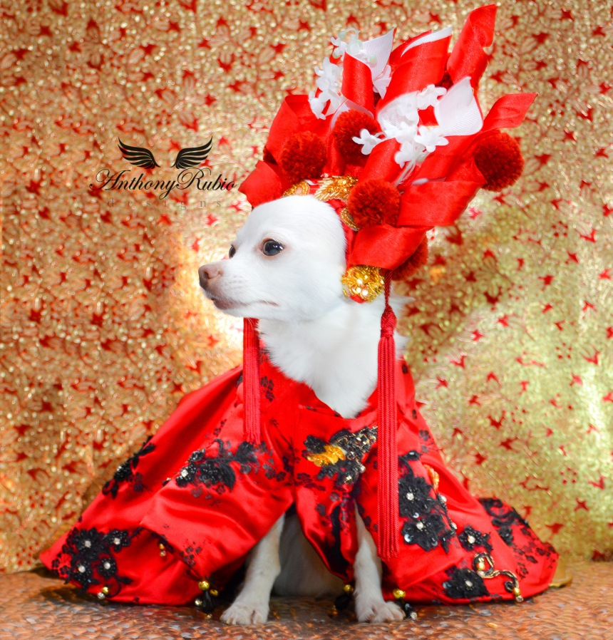 Chihuahua Kimba wearing Canine Couture by Anthony Rubio