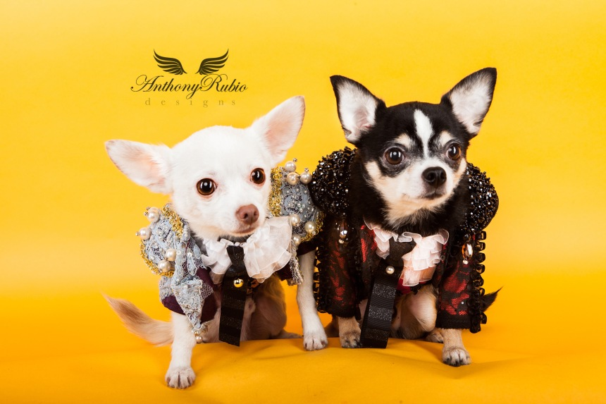 Pet Couturier Anthony Rubio created Matador costumes for dogs. Part of his Trajes De Luces series Chihuahuas Bogie and Kimba are wearing Matador outfits by Anthony Rubio.