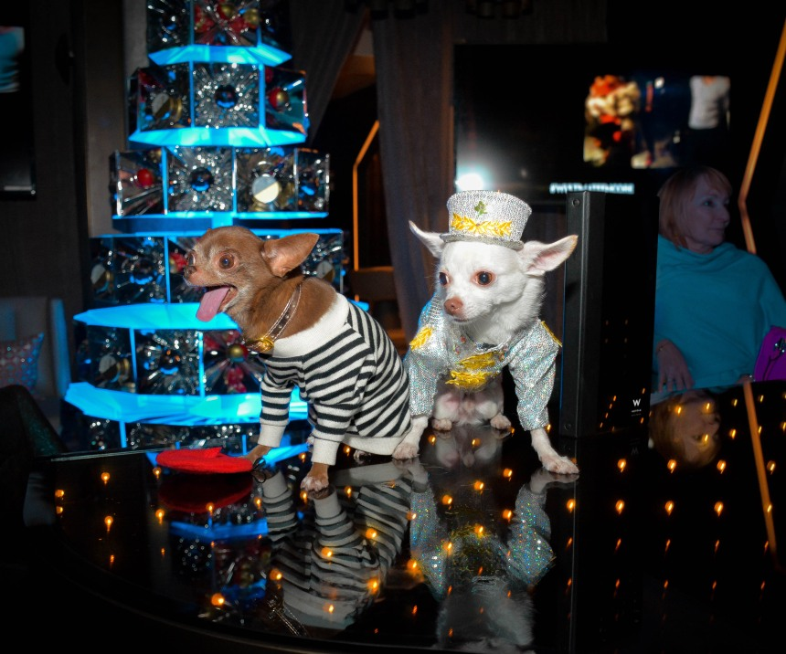 Chihuahua's Kimba & Chloe Kardoggian at the Premiere of Alan Cumming's film W Ultimate Encore at the W Hotel