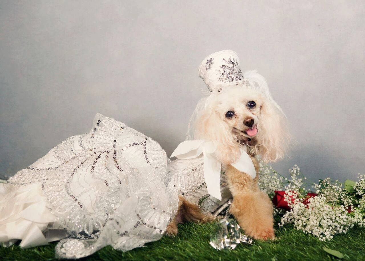 A ‎Poodle in white wedding gown and top hat for dogs by Anthony Rubio.