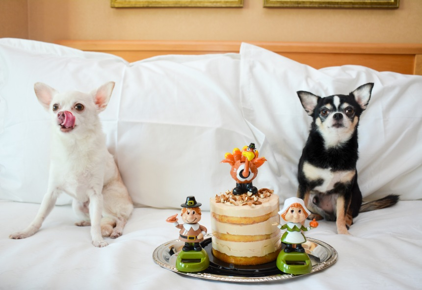 Chihuahuas Bogie and Kimba celebrate Thanksgiving