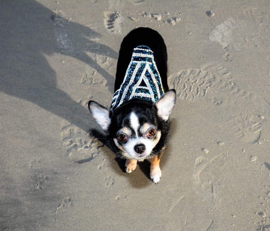 Anthony Rubio with Chihuahuas Bogie and Kimba visit Atlantic City Beach in December