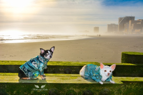 Chihuahuas Bogie and Kimba wearing Dog Fashion by Anthony Rubio
