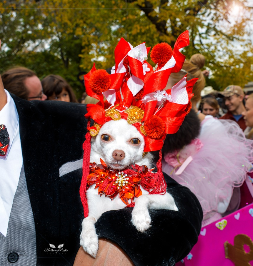 Chihuahua Kimbas as Sarah Jessica Parker at The Met Gala at The 25th Annual Tompkins Square Halloween Dog Parade