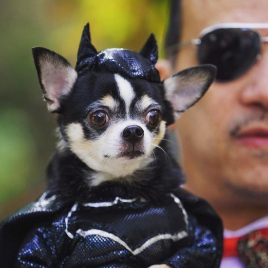 Chihuahua Bogie as Batman at The 25th Annual Tompkins Square Halloween Dog Parade
