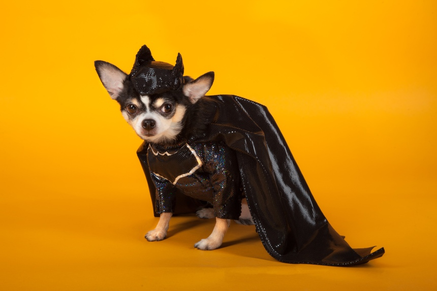 Chihuahua version of Batman v Superman: Dawn of Justice by Anthony Rubio