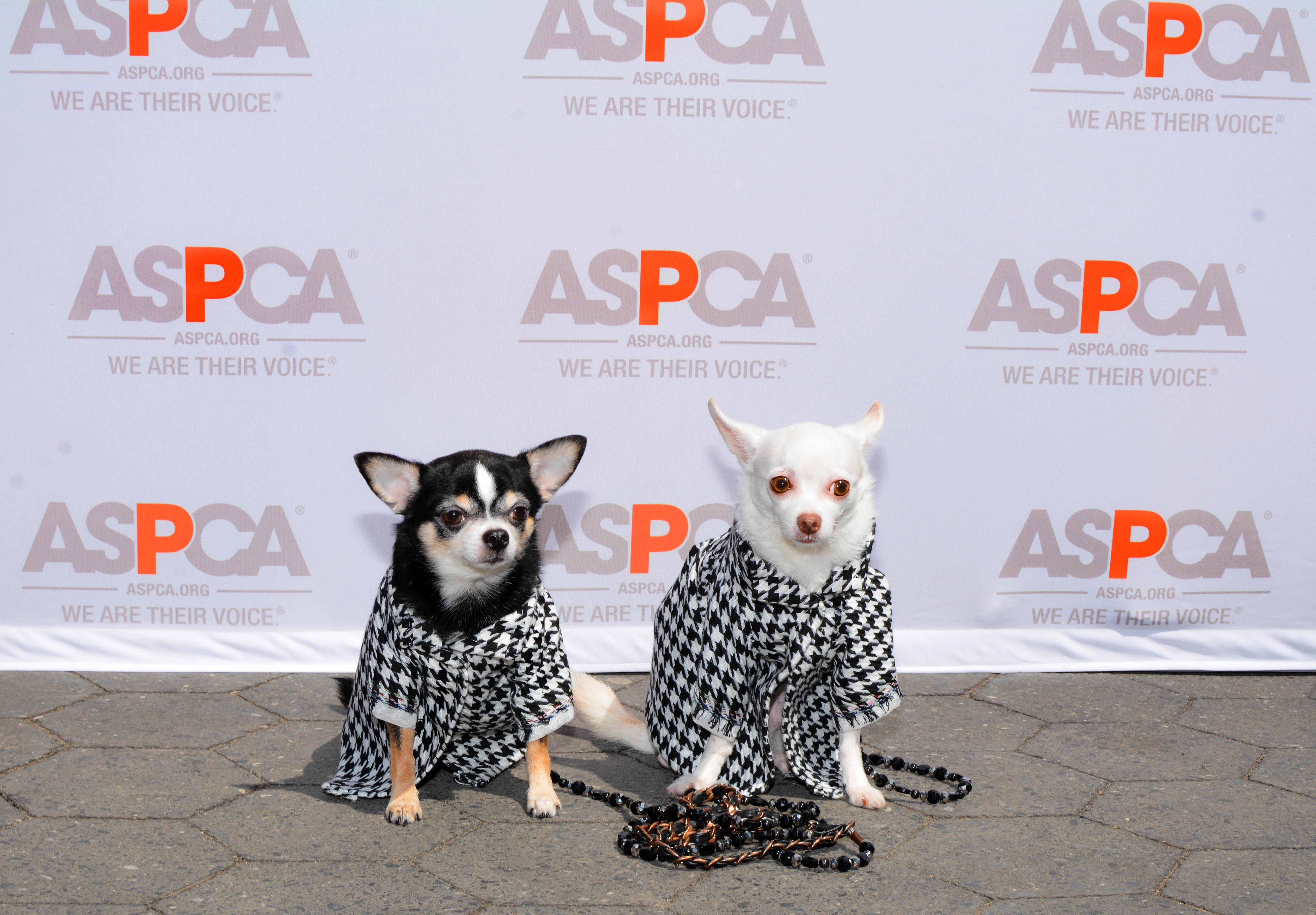 Chihuahua duo Bogie and Kimba attend Mayor's Alliance for NYC's Animals' annual Adoptapalooza in Union Square Park