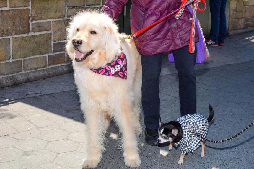 Chihuahua Bogie and Bocker Labradoodle at Mayor's Alliance for NYC's Animals' annual Adoptapalooza in Union Square Park
