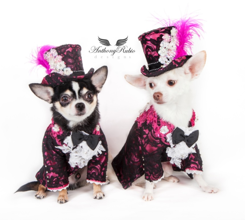 The Dapper Chihuahuas - Dog Fashion by Anthony Rubio