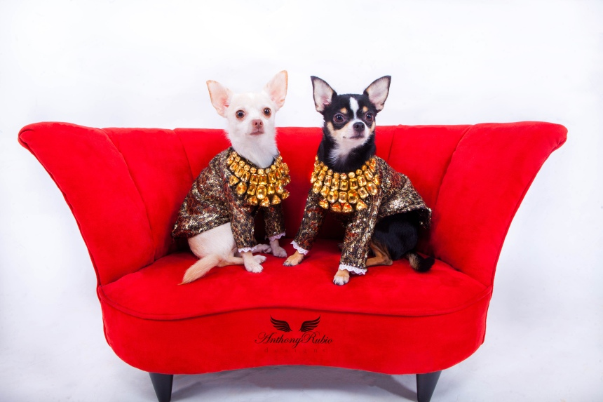 Chihuahuas Bogie and Kimba wearing Anthony Rubio creations.