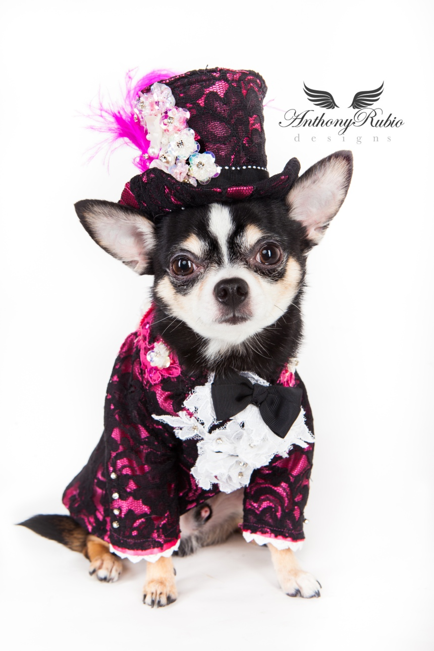 The Dapper Chihuahua - Dog Fashion by Anthony Rubio