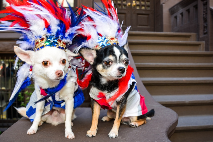 Chihuahua duo Bogie and Kimba marched in the 59th annual National Puerto Rican Day Parade.