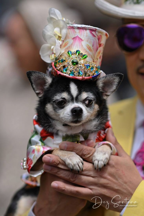 Anthony Rubio and his Chihuahuas attend the 2019 Easter Bonnet Parade in New York (Photo Dez Santana)