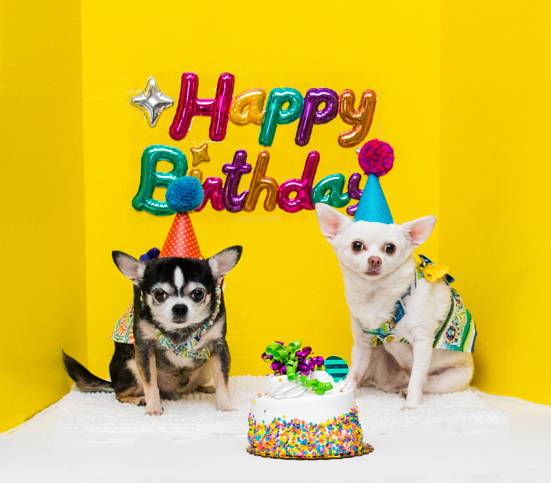 Happy Birthday to my Chihuahuas Bogie and Kimba!